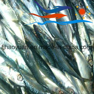 Whole Round Frozen Pacific Mackerel (PM010) pictures & photos