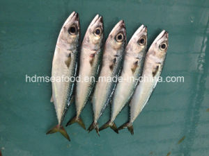 Bqf Fresh Mackerel Fish pictures & photos