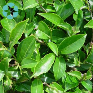 Green Tea Extract / Camellia Sinensis Extract / Polyphenols / EGCG pictures & photos