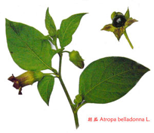 Belladonna Extract pictures & photos