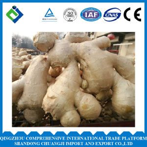 High Quality Organic Fresh Ginger for Sale pictures & photos