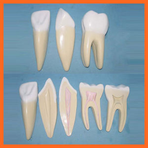 Incisor, Canine and Molar Model, Expansion Model of Human Teeth