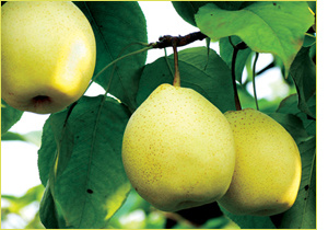 2016 New Crop Fresh Pear Supplier with Own Factory. pictures & photos