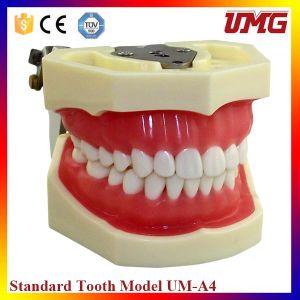 28 Teeth Soft Sum Dental Jaw Model Study Teeth Model pictures & photos