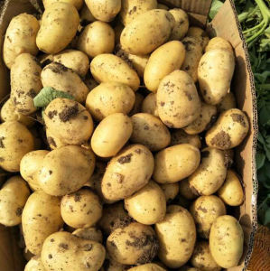 New Fresh Holland Potato pictures & photos