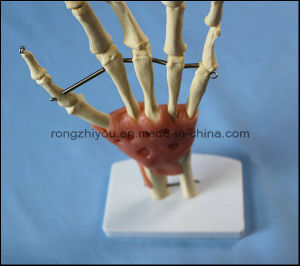 Natural Size Hand Joint Skeleton Model with Ligaments pictures & photos