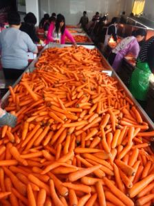 Directly Supply Fresh Carrots of New Season in 2016 pictures & photos