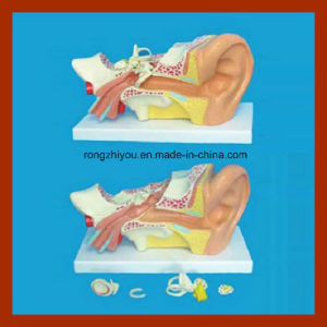 New 5 Pieces Human Big Left Ear Anatomical Model for Educational pictures & photos