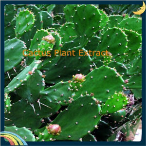 Cactus Hoodia Gordonii Extract, Cholla Stem Extract, Cactus Extract pictures & photos