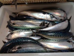 200-300g Scomber Japonicus Frozen Mackerel pictures & photos