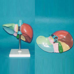 Printed Numbered Human Liver Anatomy Medical Education Model (R100104)
