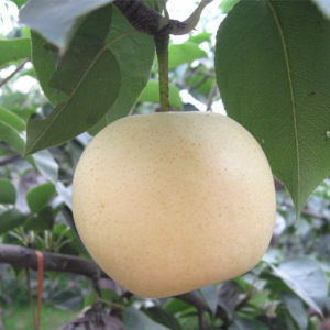 Hot Sale Good Quality Fresh Golden Pear/Crown Pear pictures & photos
