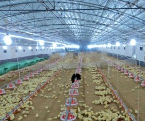 Automatic Poultry Farm Equipment Used for Broiler House