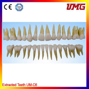 China Dental Material Permanent Teeth Model pictures & photos