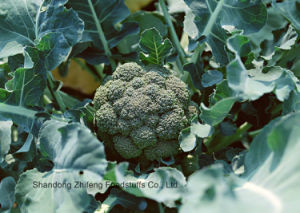 Chinese IQF Frozen Broccoli for Exporting pictures & photos