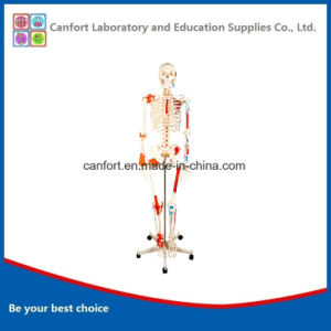 Good Price Anatomical Model Human Skeleton Model with Half Muscle and Half Ligament pictures & photos