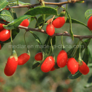 Medlar Chinese Wolfberry (gojiberry) with High Reputation in The Oversea Market pictures & photos