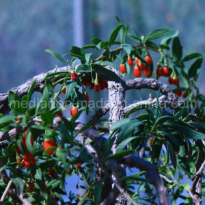 Medlar Lbp Barbary Wolfberry Fruit Organic Goji Berry pictures & photos