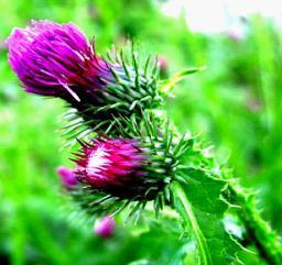 80%Silymarin Milk Thistle Extract for Food and Supplement pictures & photos