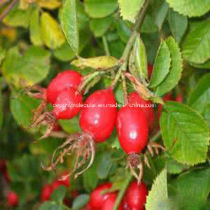 High Quality Rose Hip Extract, Rosa Canina, Extract Ratio10: 1 pictures & photos