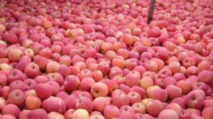 Fresh FUJI Apple with Competitive Price pictures & photos