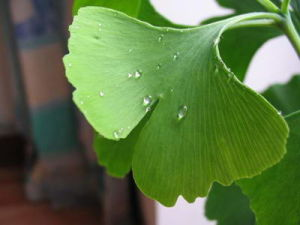 Ginkgo Biloba Extract on Sell pictures & photos