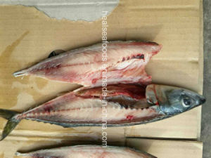 China Export Frozen Bqf White Belly Pacific Mackerel pictures & photos