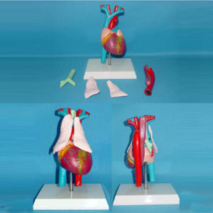 Heart Arteries and Veins Medical Anatomy Model (R130103)