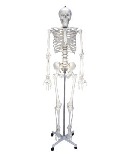 Medical Human Anatomy Skeleton Model Nursing Training Adult CPR Manikin pictures & photos