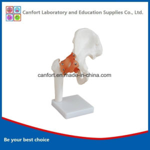 Teaching Skeleton Model Anatomic Model Natural Size Hip Joint Model pictures & photos