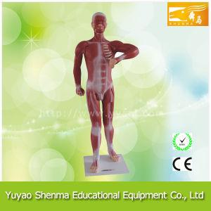Human Muscular Model (Teaching model)