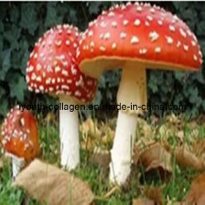 100% Natural Amanita Extracts, Anticancer, Antitumour, Pure Natural Medicine pictures & photos