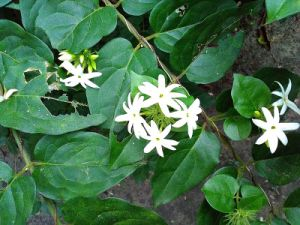 Jasmine Essential Oil for Natural Cosmetics pictures & photos