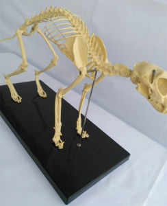 Animal Biology Teaching Cat Skeleton Anatomy Model (R190118) pictures & photos