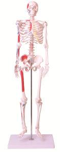 85cm Mini Human Skeleton pictures & photos