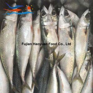 Land Frozen W/R Pacific Mackerel; pictures & photos