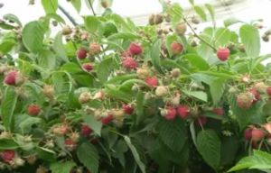 Factory Supply Antioxidant Ingredient Red Raspberry Powder Extract with Ellagic Acid/Raspberry Ketone pictures & photos