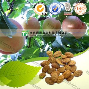 Pure Herbal Medicine Peach Kernel Semen Persicae pictures & photos