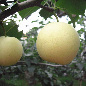 Fresh New Season Golden Pear pictures & photos