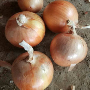 Exported Standard Quality of Chinese Fresh Yellow Onion pictures & photos