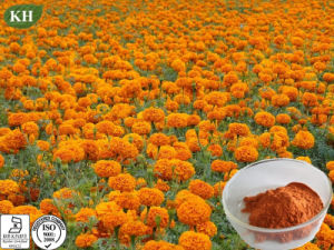 Natural 5%, 10%, 20%, 80% Lutein Marigold Extract pictures & photos