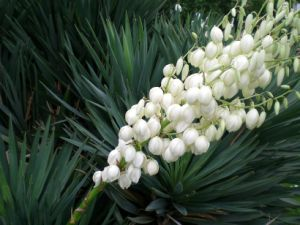 Factory Direct Supply 100% Natural Yucca Extract pictures & photos