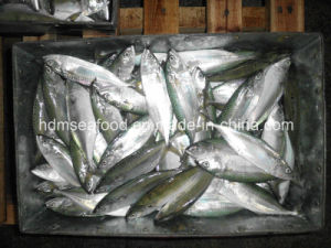 Frozen Whole Round Indian Mackerel pictures & photos