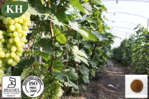 100% Natural Grape Leaf Extract 4: 1 pictures & photos