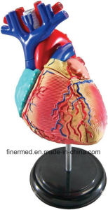 Medical Plastic Heart Anatomical Model pictures & photos