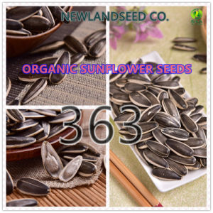 Hot Sale Chinese New Sunflower Seeds 363 to All The World