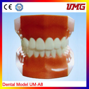 Hot Sales Removable Teeth Dental Study Model pictures & photos