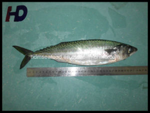 Supply Mackerel Fish Frozen Seafood (Scomber japonicus) pictures & photos