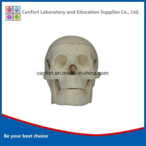Teaching Model Small Size Human Skull Model pictures & photos