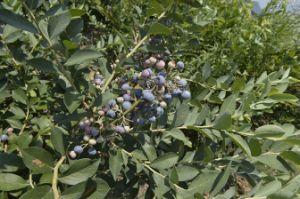 IQF Freezing Organic Blueberry Zl-1004